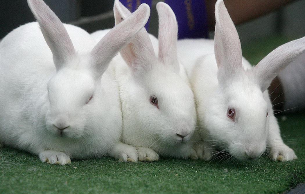 White Rabbit Symbolic Meaning